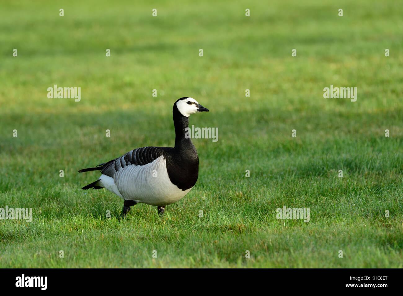 Barnacle goose, Branta leucopsis, Anatidae, adult, goose, bird, animal, Kättbo, Mora kommun, Dalarna county, - Stock Image