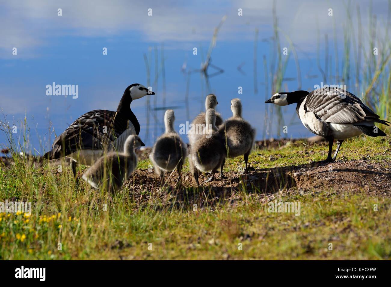 Barnacle goose, Branta leucopsis, Anatidae, adult, gosling, goose, bird, animal, Kättbo, Mora kommun, Dalarna - Stock Image
