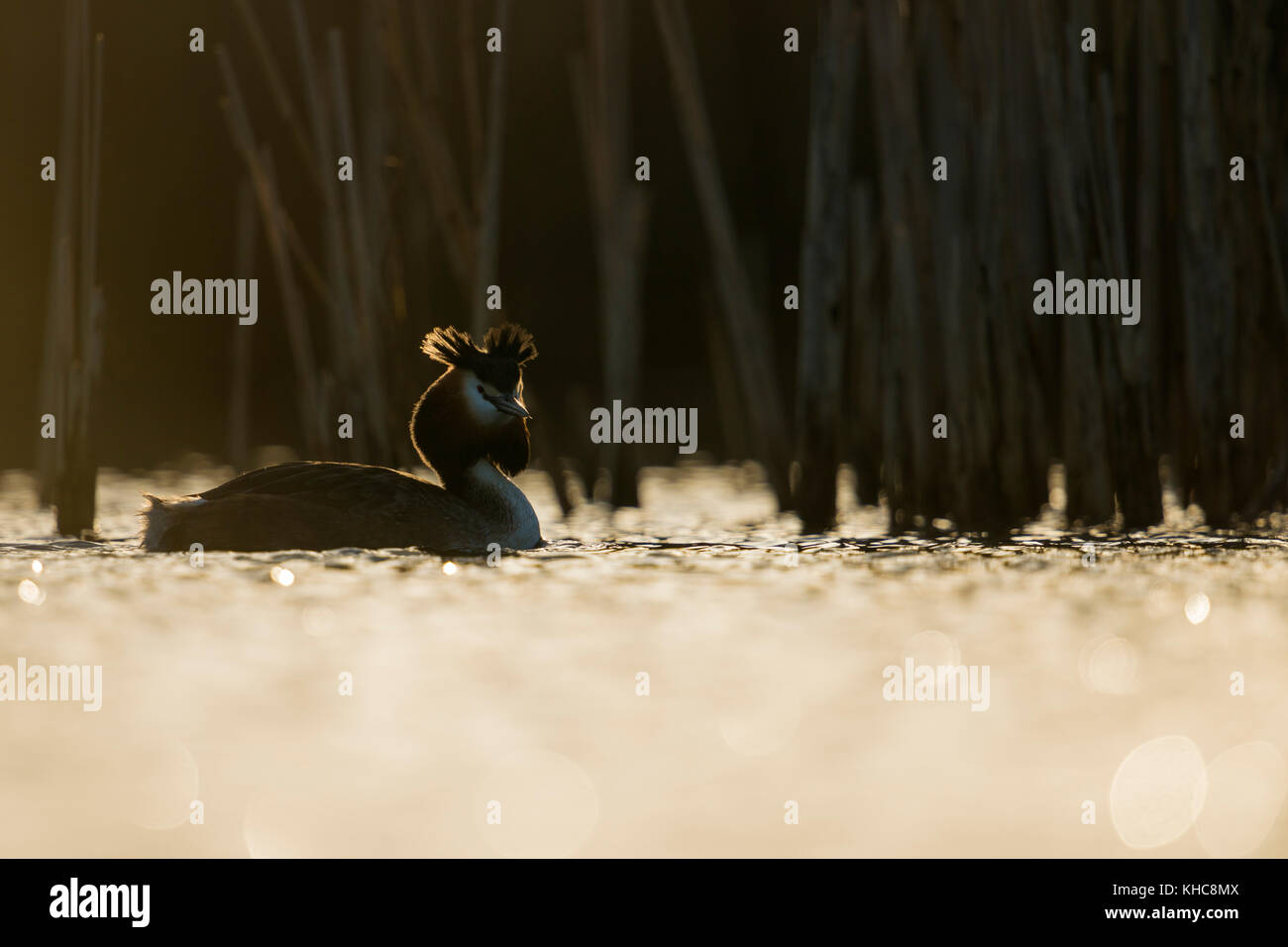 Great Crested Grebe ( Podiceps cristatus ) swimming in front of reeds, first morning light, backlight situation, - Stock Image