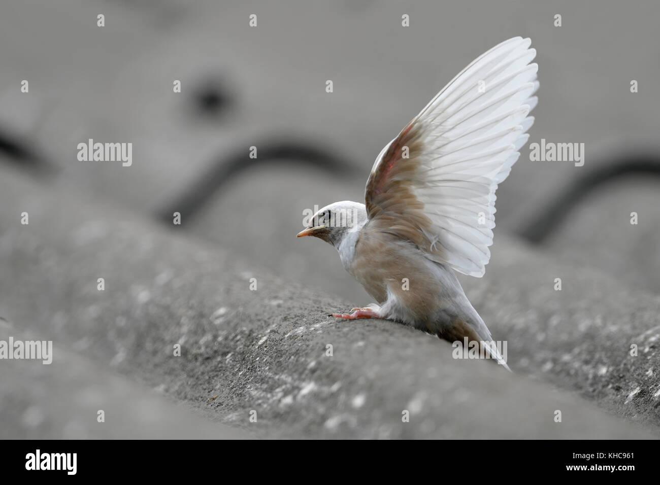 Barn Swallow ( Hirundo rustica ), fledged, rare gene defect, white plumage, leucistic, leucism, perched on a roof, - Stock Image