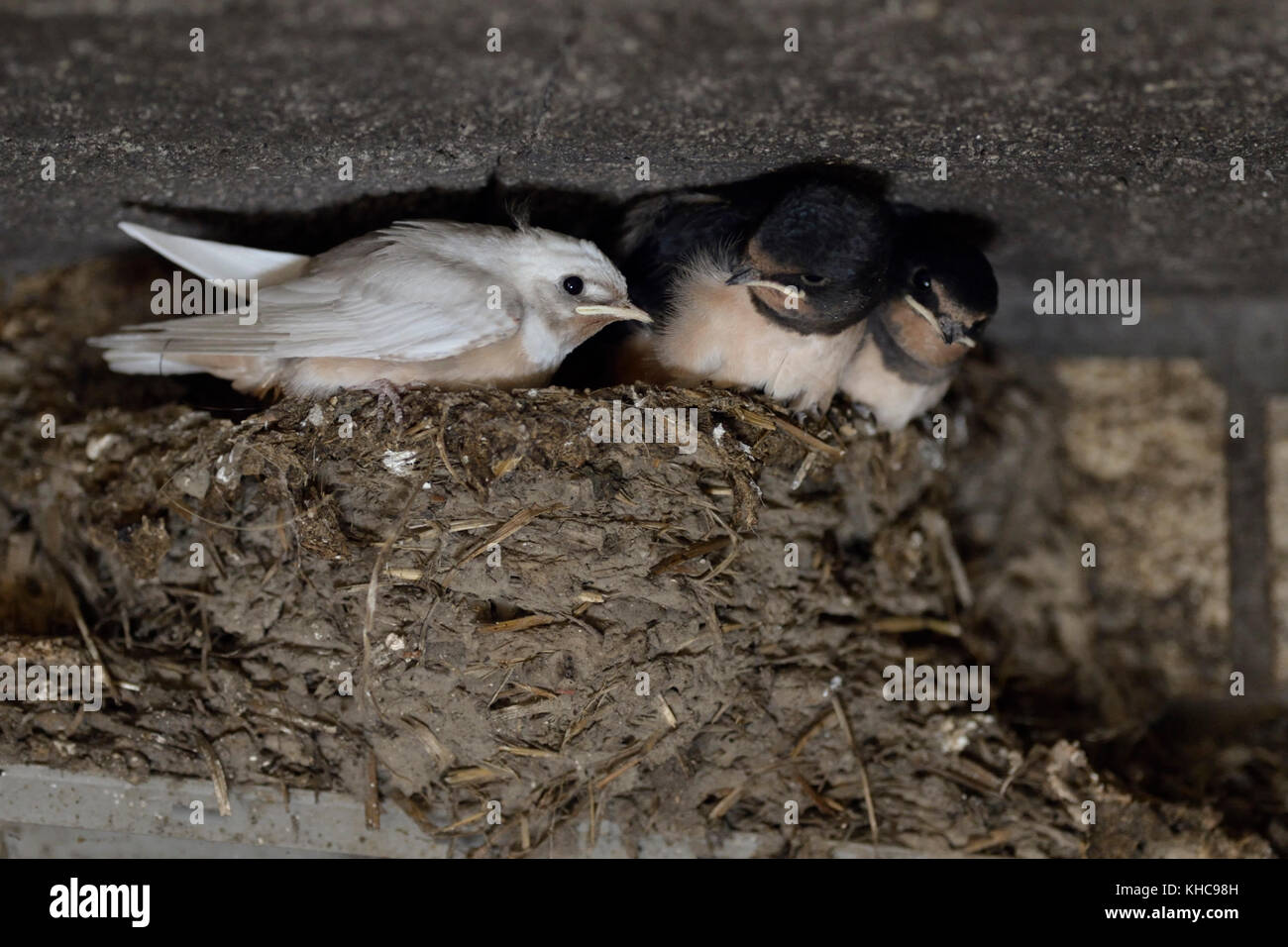 Barn Swallow / Swallows ( Hirundo rustica ), chicks in nest, almost fledged, one with a rare gene mutation, white - Stock Image