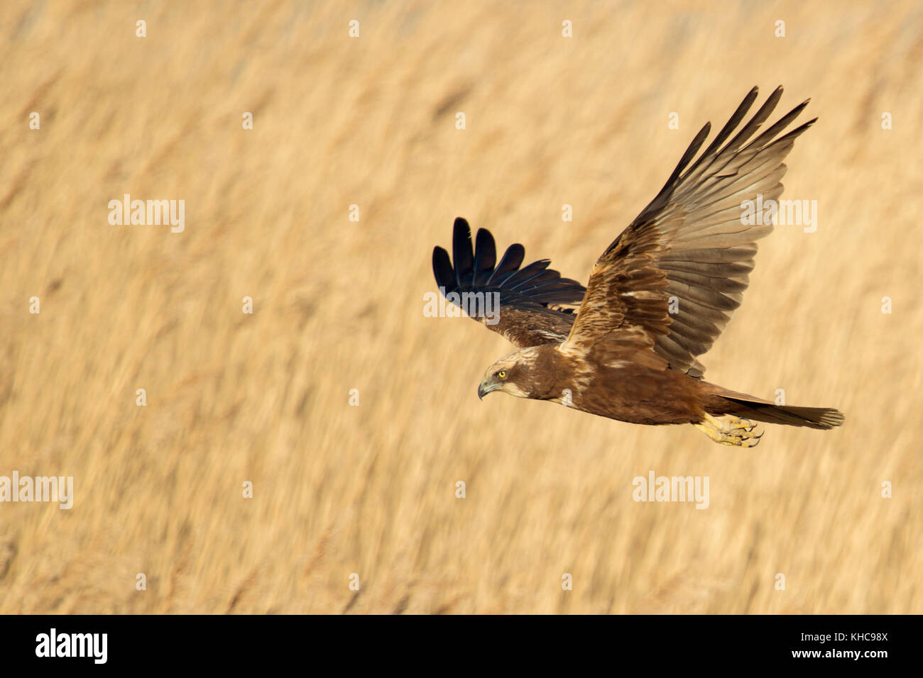 Western Marsh Harrier / Rohrweihe ( Circus aeruginosus ) in flight, searching for prey, flying over golden reed, Stock Photo
