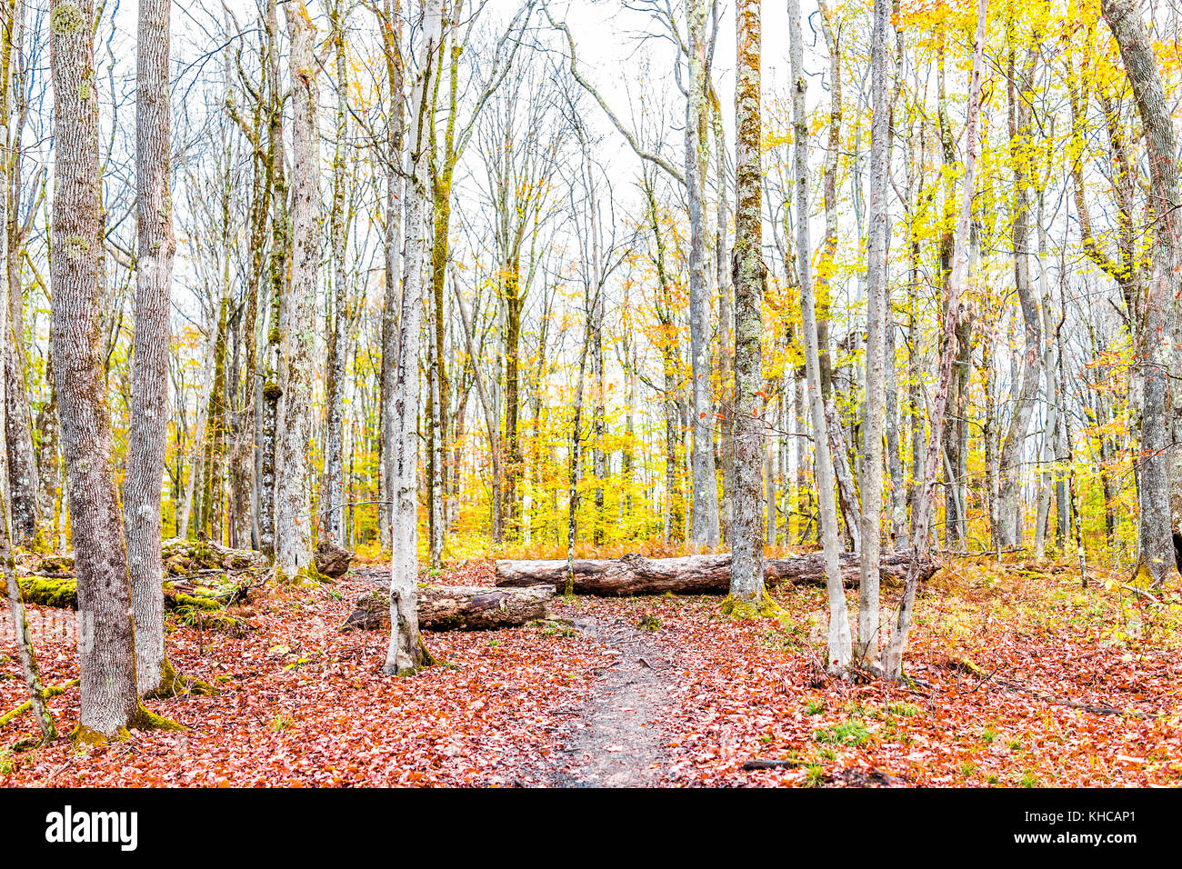 Empty trail path on yellow, golden autumn hike with bare trees during cloudy, overcast weather in Dolly Sods, West - Stock Image