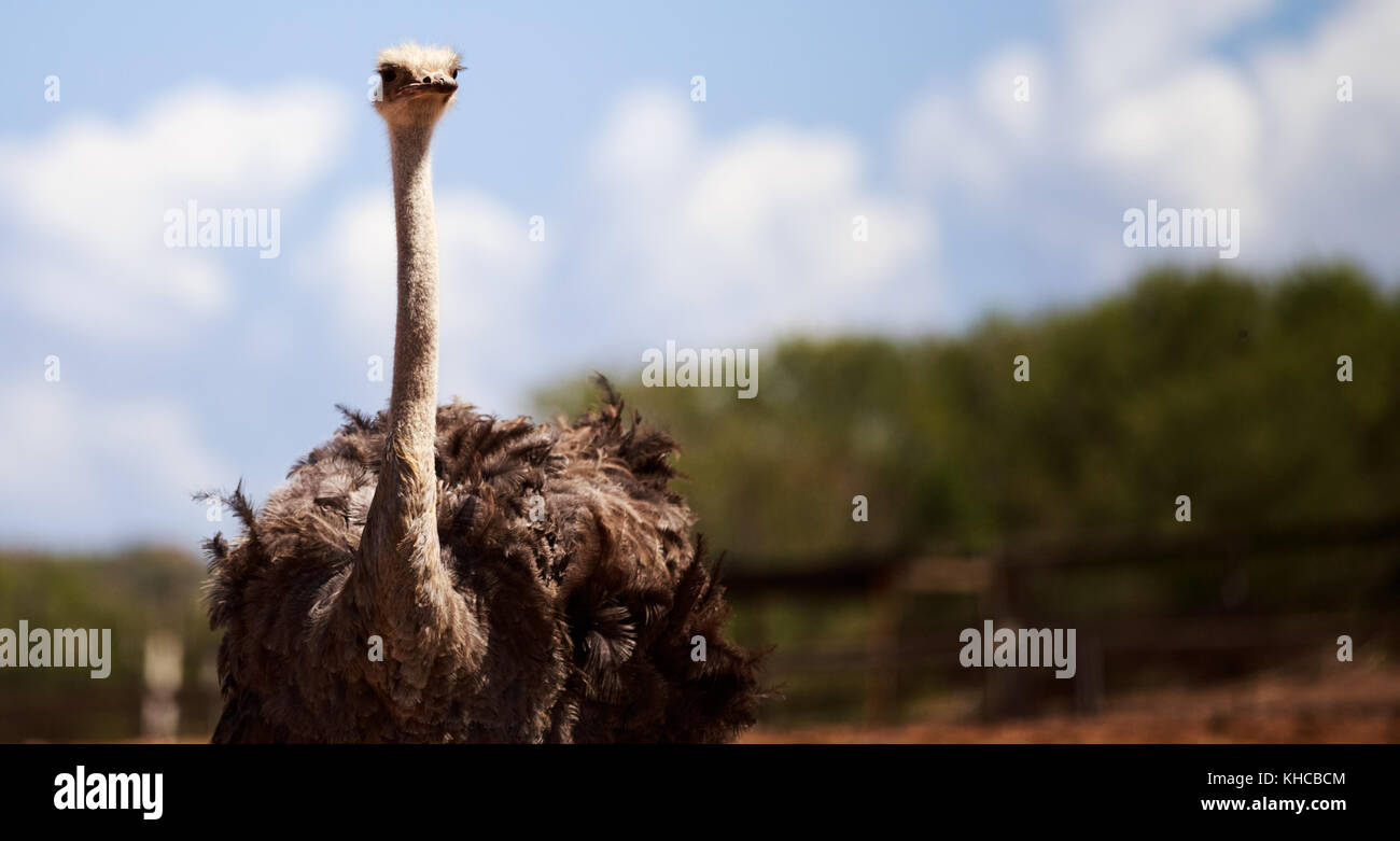 Ostriches - Stock Image