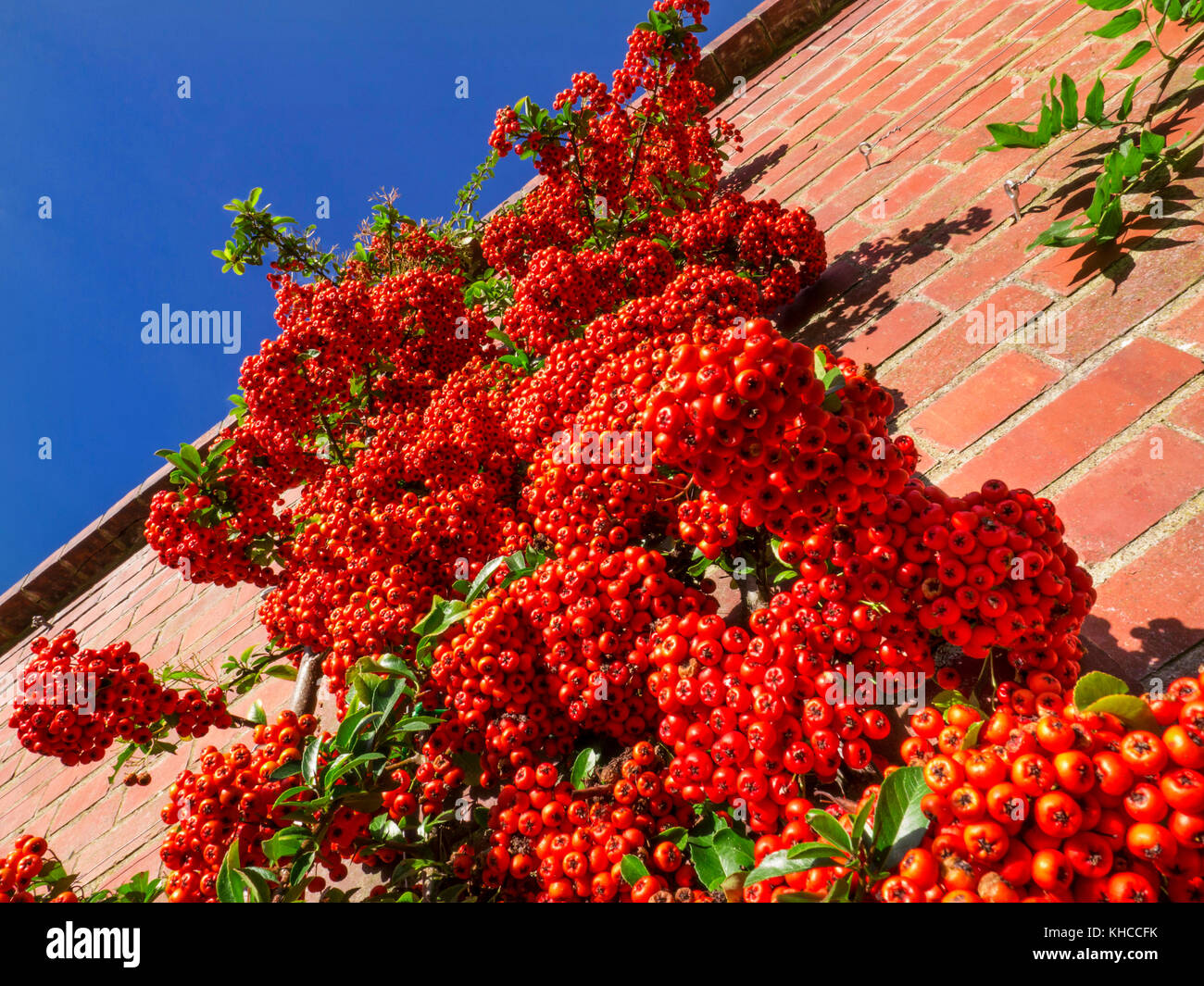 PYRACANTHA Saturated red berry 'pomes' of the Pyracantha evergreen shrub in the Rosaceae Firethorn family, - Stock Image