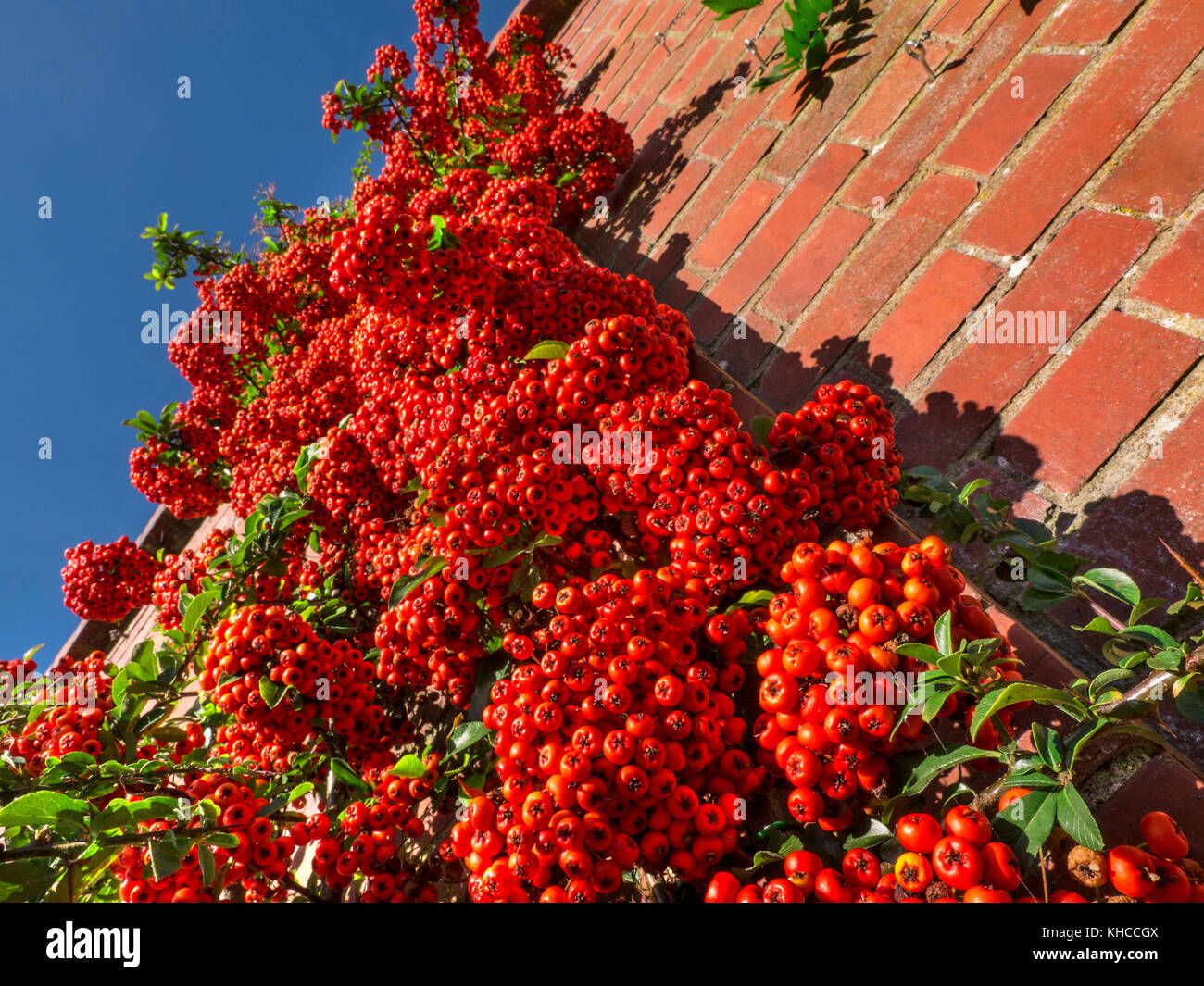 PYRACANTHA Saturated red berry 'pomes' of the Pyracantha evergreen shrub in the Rosaceae Firethorn family - Stock Image