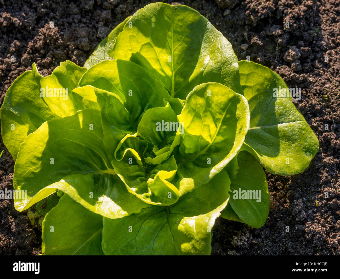 Late autumnal sun on 'Winter Lettuce Weston' a compact butterhead for indoor autumn and winter production. - Stock Image