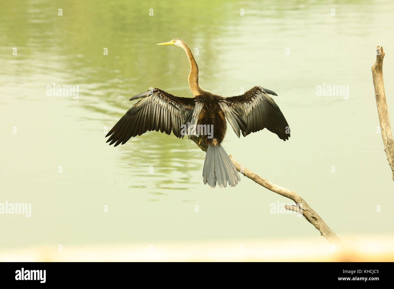 Darter or Snake Bird in wing form at Keoladeo Birds Sanctuary Rajasthan  India - Stock Image