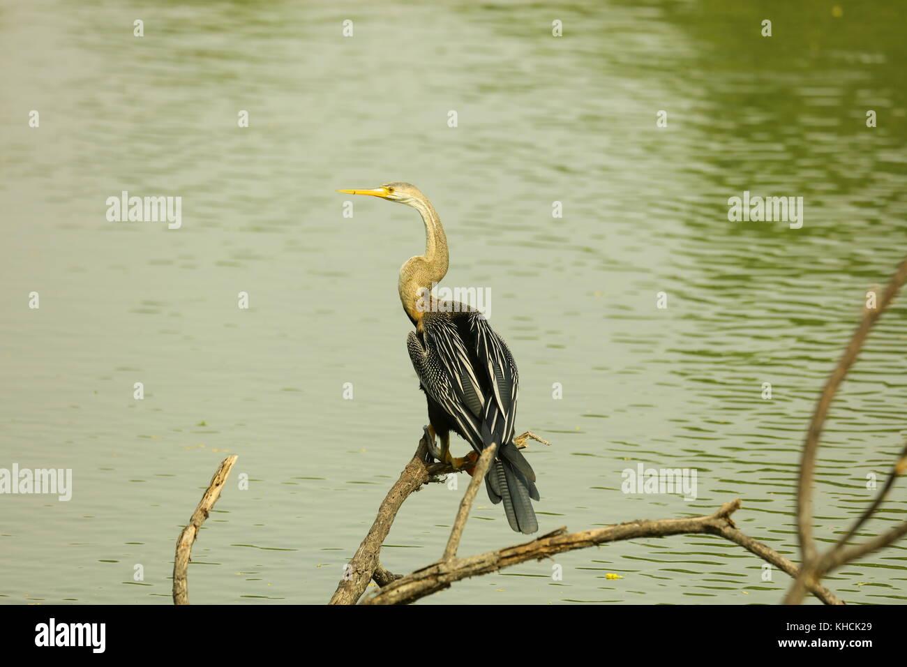 Snake Bird (Slender snake like neck and pointed dagger bill diagnostic) capture in Keoladeo National Park Rajasthan - Stock Image