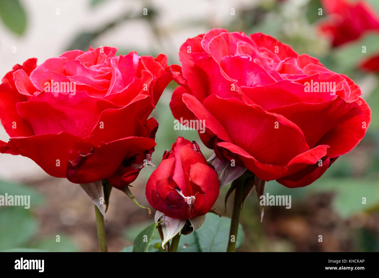 Red flowers and bud of the repeat blooming hyrid tea shrub rose, Rosa 'Alec's Red' - Stock Image