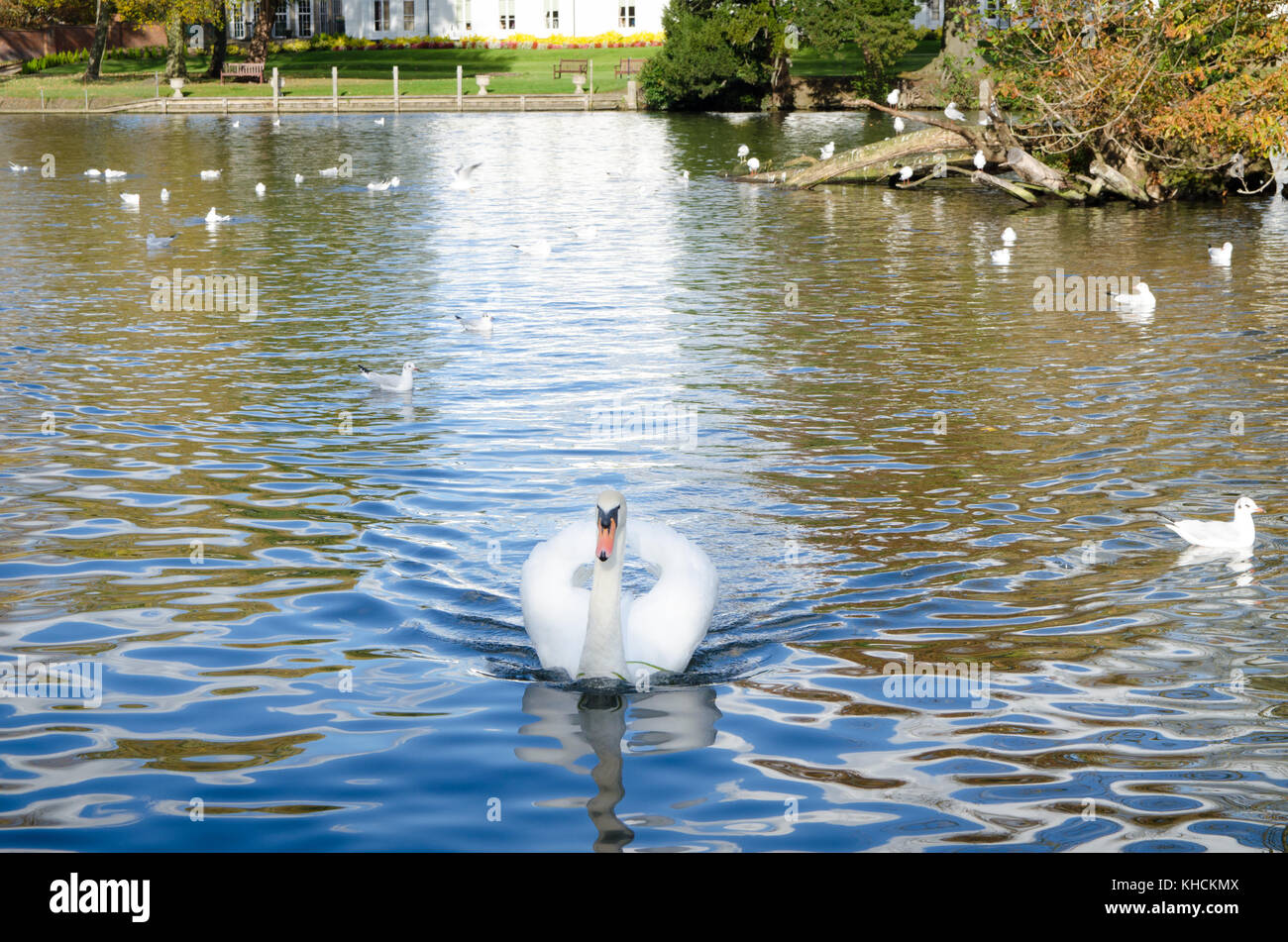 White swan swimming on the river Stock Photo