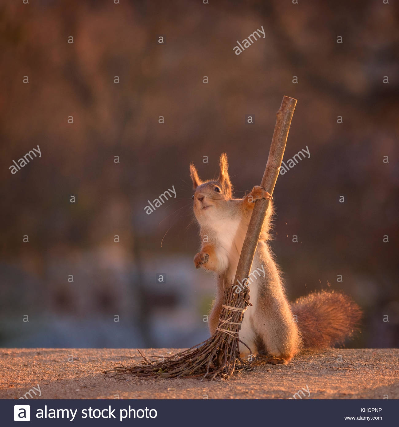 red squirrel is holding on to a broom - Stock Image