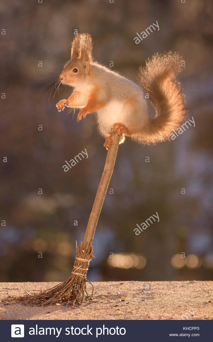 red squirrel is balancing on a broom - Stock Image