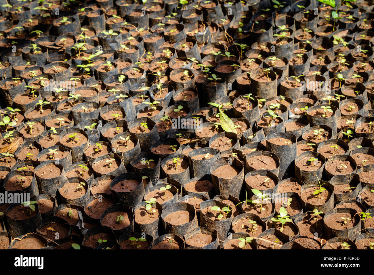 Tree planting Uganda style, many sprouts together - Stock Image
