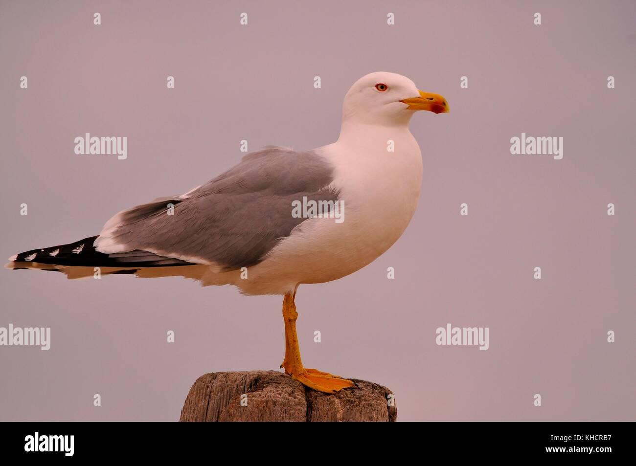 Image de goéland - Stock Image