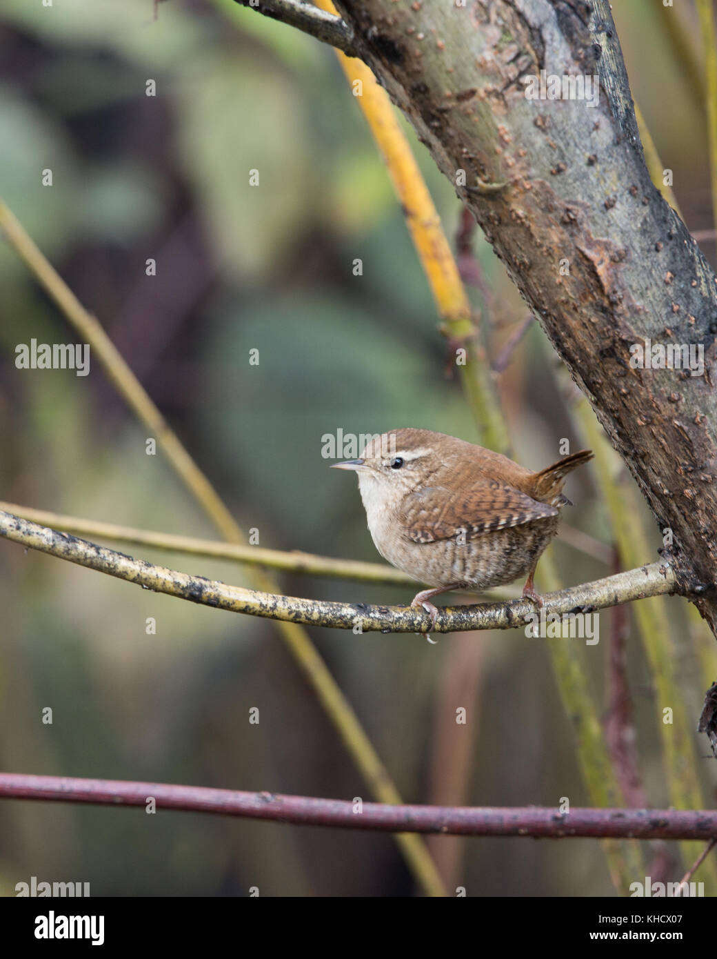 wren at london wetland centre - Stock Image