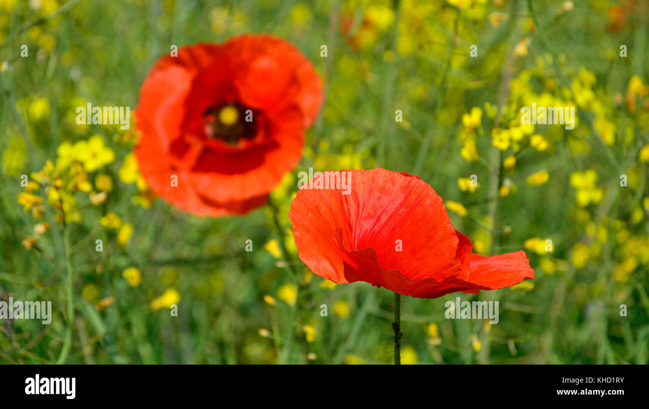 Wild red poppies growing in a field of rapeseed in May in Friuli Venezia Giulia, north east Italy - Stock Image