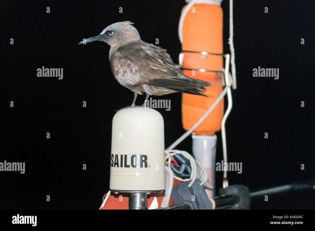 A brown noddy hitches a lift, sitting on the satellite antenna of a boat sailing in the South Atlantic Ocean at Stock Photo