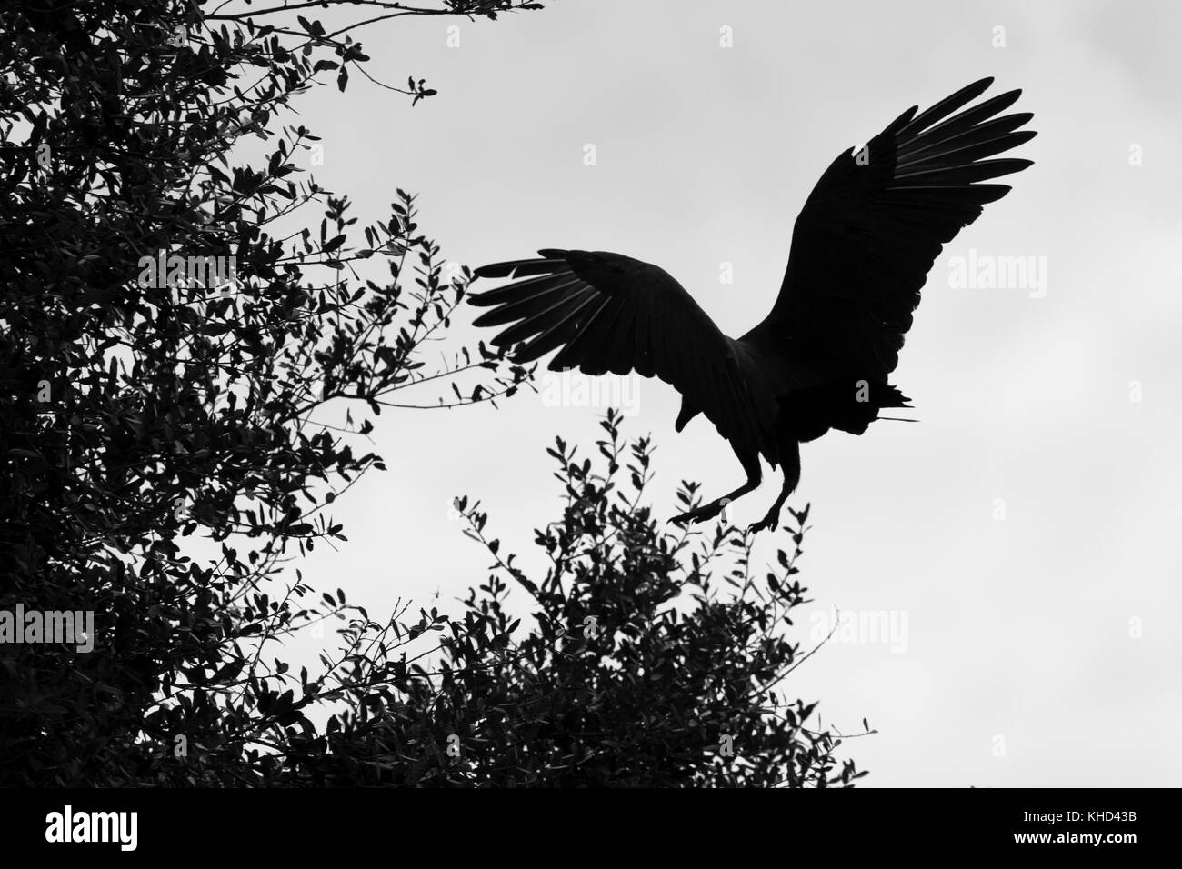 Silhouette of vulture landing in tree stock image