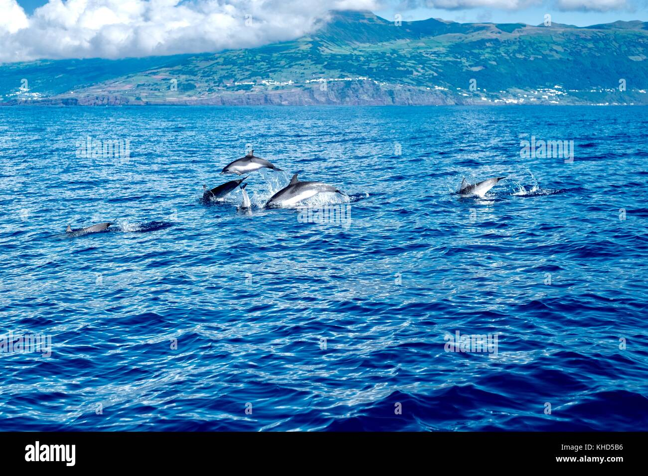 leaping spotted dolphins - Stock Image