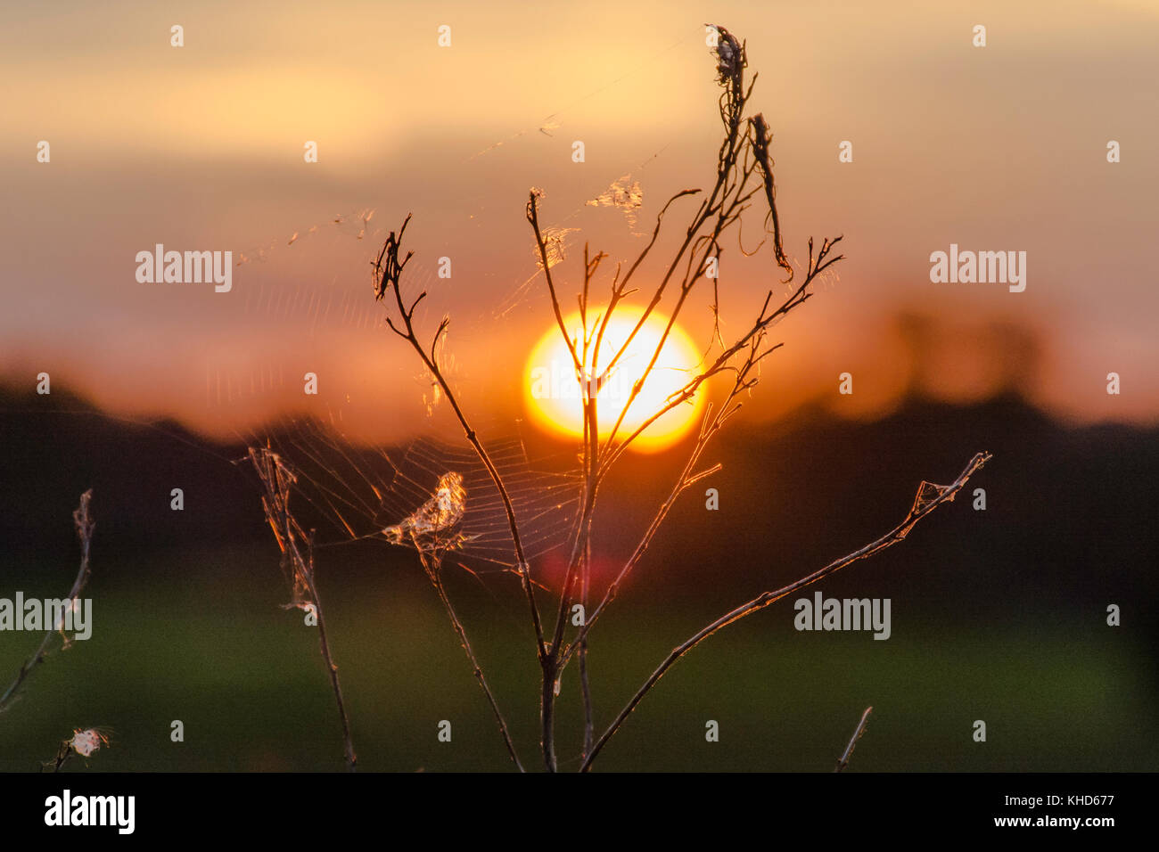 cobwebs on a wild plant illuminated by the sunset - Stock Image