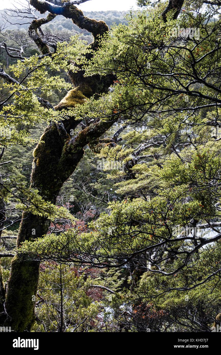 Tongariro National Park, New Zealand. Forest on slopes of Mount Ruapehu - Stock Image