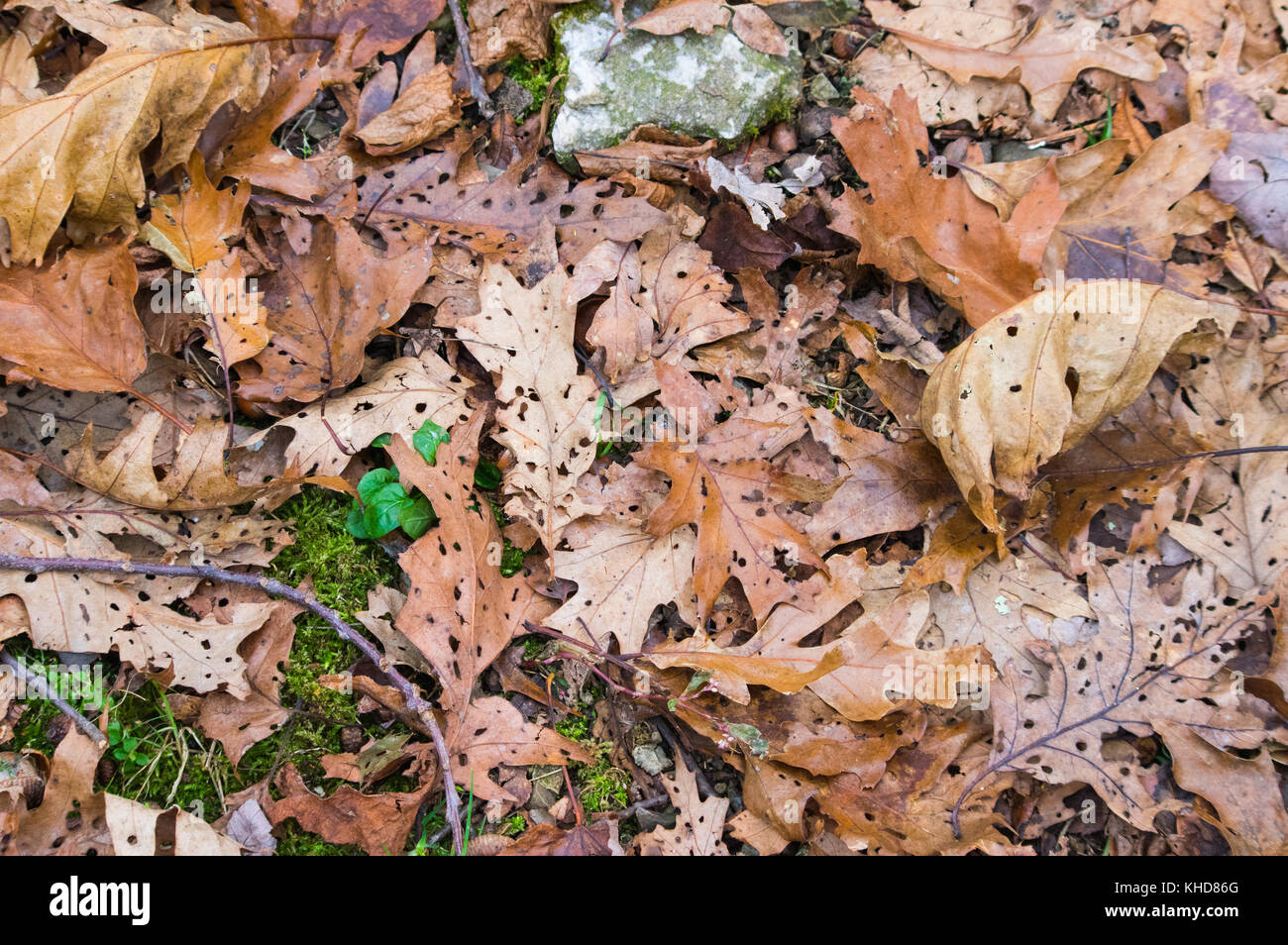The leaves on the forest floor of Shenandoah National Park in Virginia are marked with holes indicating acid rain - Stock Image