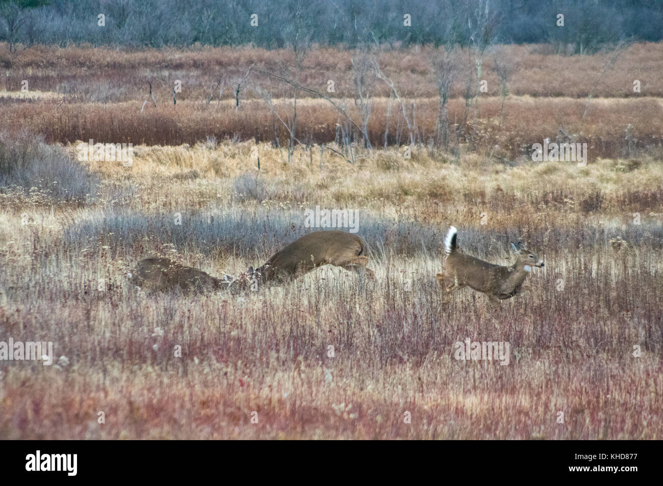 Two deer lock horns as the doe they fight over jumps out of the way in the autumn fields of Big Meadows during the - Stock Image