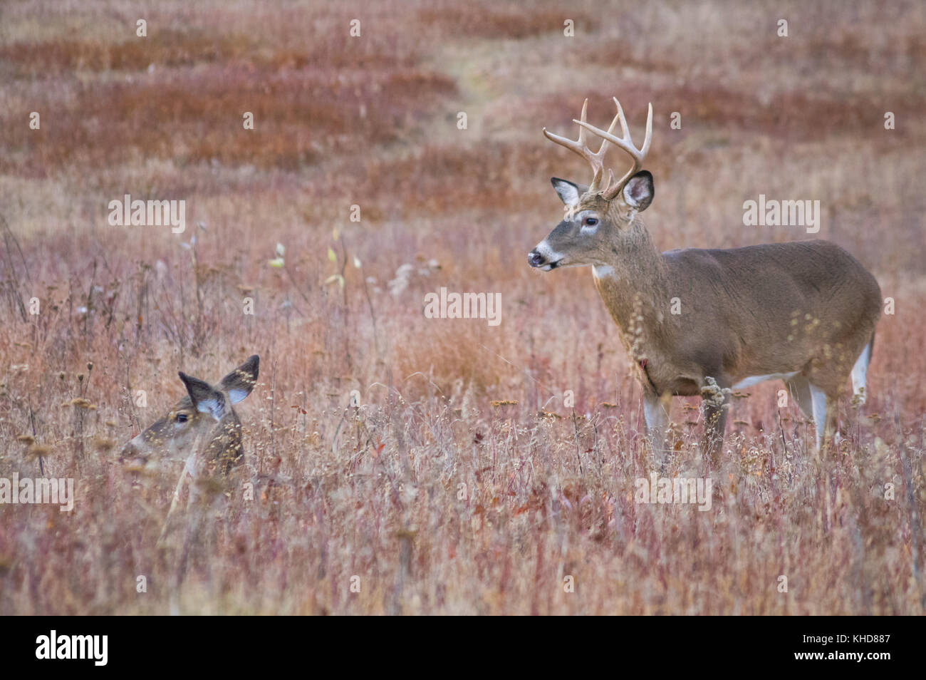 Profile view of two whitetail deer, a large buck and a doe bedded down in the fields of Big Meadows at Shenandoah - Stock Image
