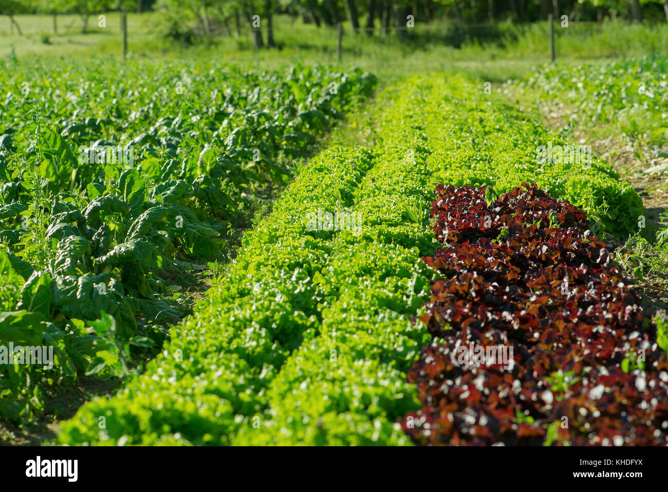Lettuces growing on farm Stock Photo