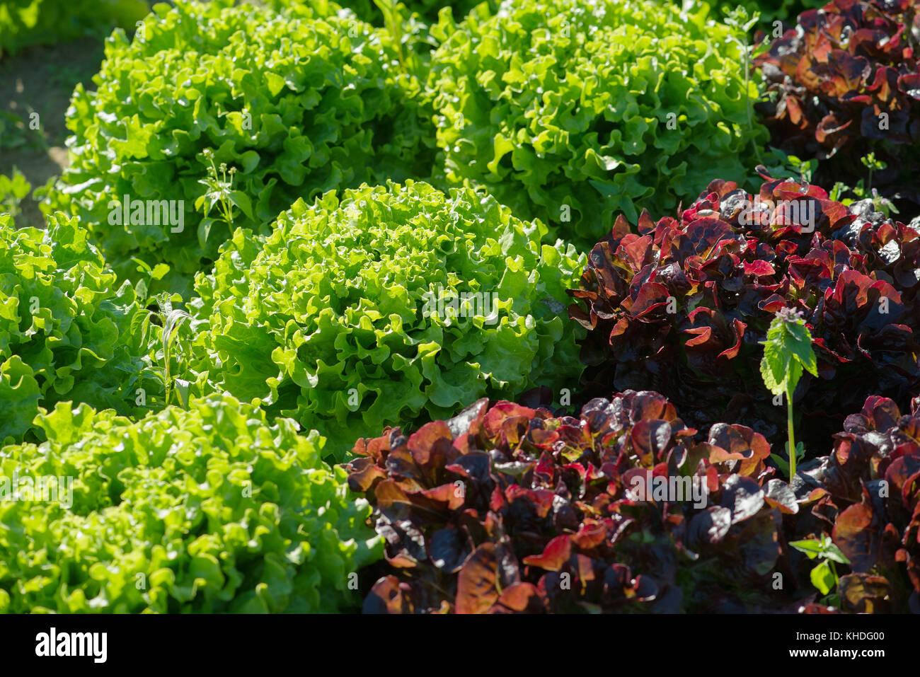 Lettuces growing in garden Stock Photo