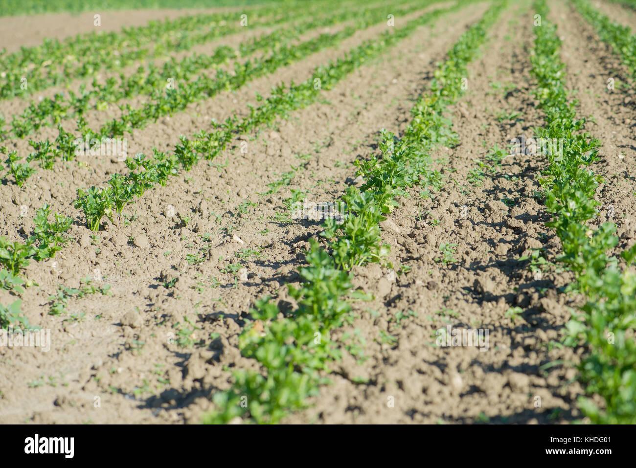 Crops growing in field Stock Photo