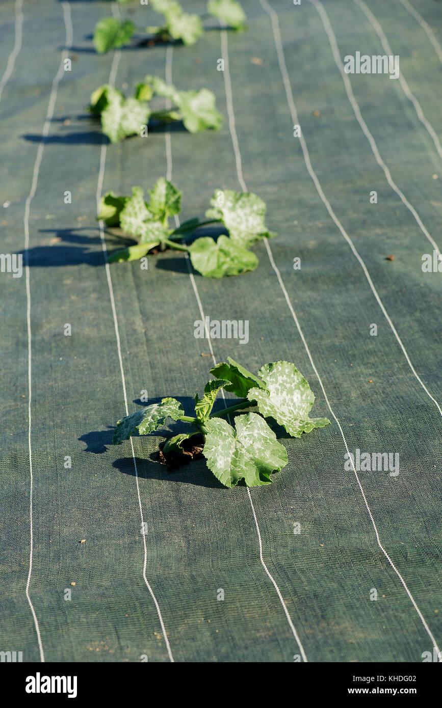 Crops growing through protective fabric Stock Photo