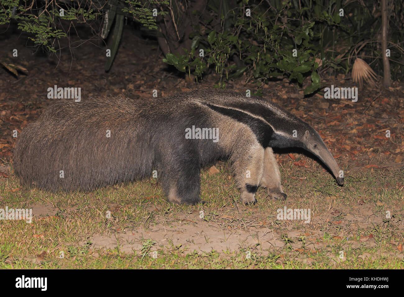Giant Anteater - Stock Image