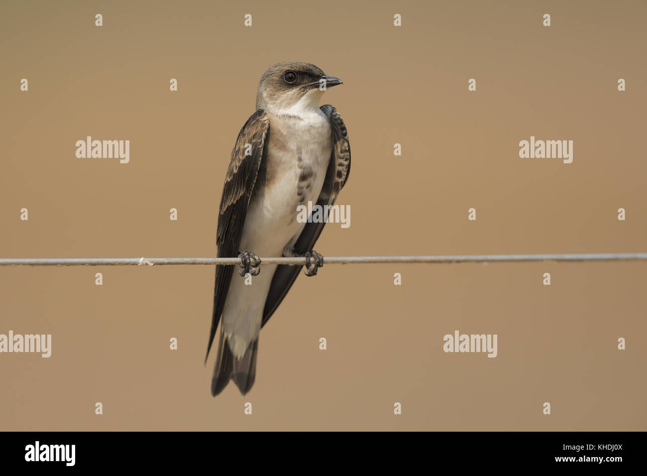 Brown-chested Martin - Stock Image
