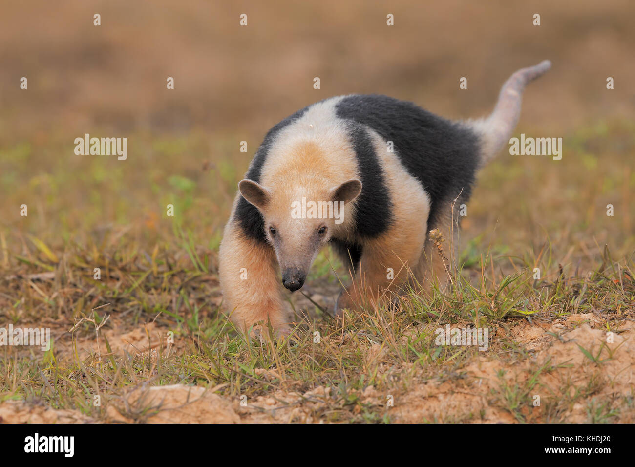 Tamandua - Stock Image