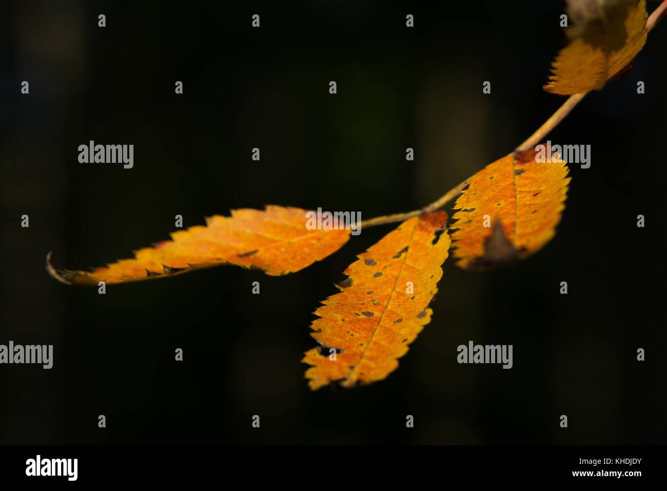 Zweig mit Herbstlaub - Stock Image