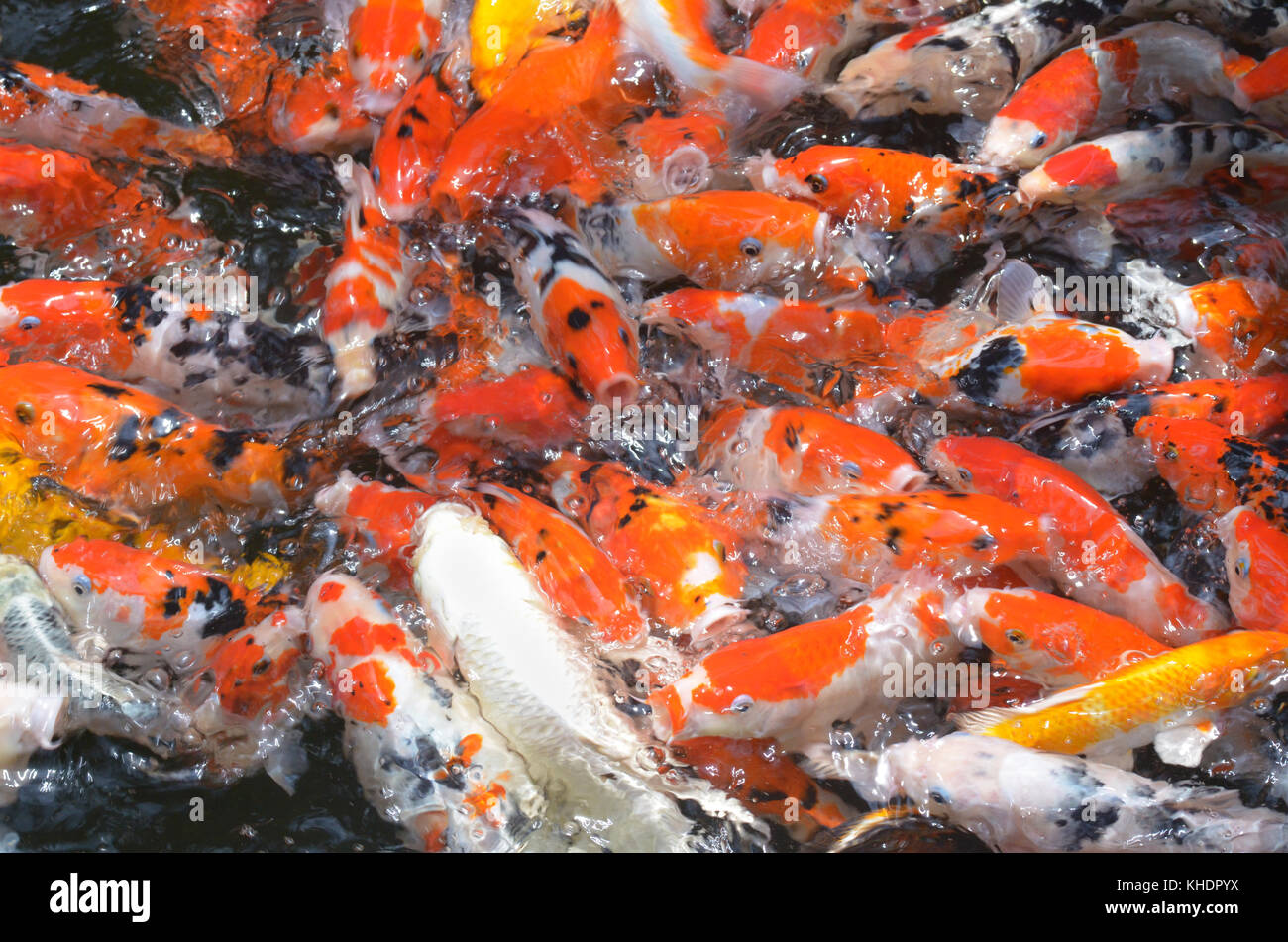feeding carp/koi fish in pond.Koi or more specifically nishikigoi ...