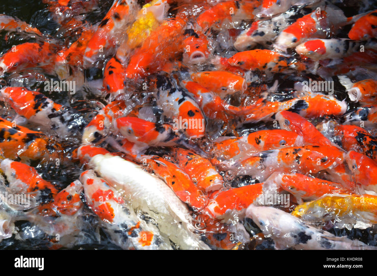 Koi Fish Feed Stock Photos & Koi Fish Feed Stock Images - Alamy
