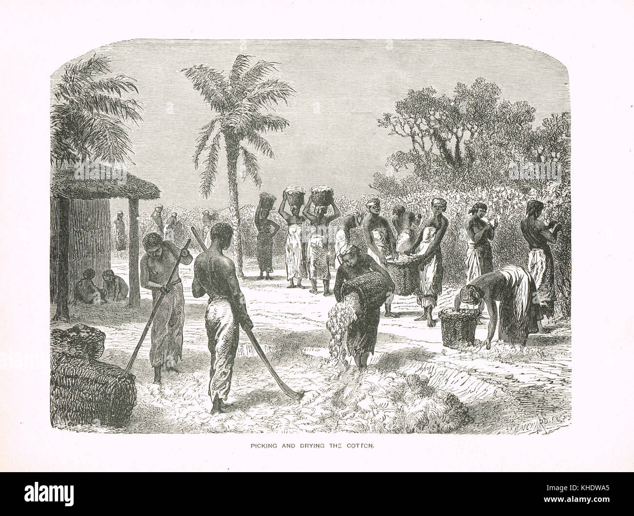 Slaves Picking and Drying cotton, 19th Century, United States - Stock Image