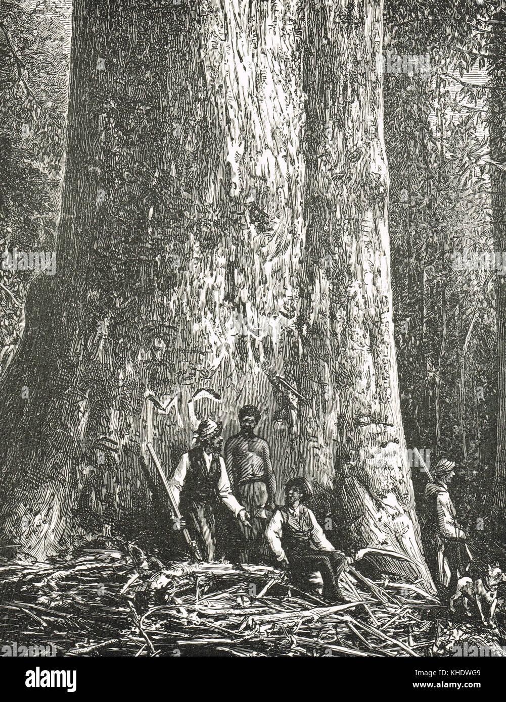 Big Ben, Giant tree, Victoria, Australia - Stock Image