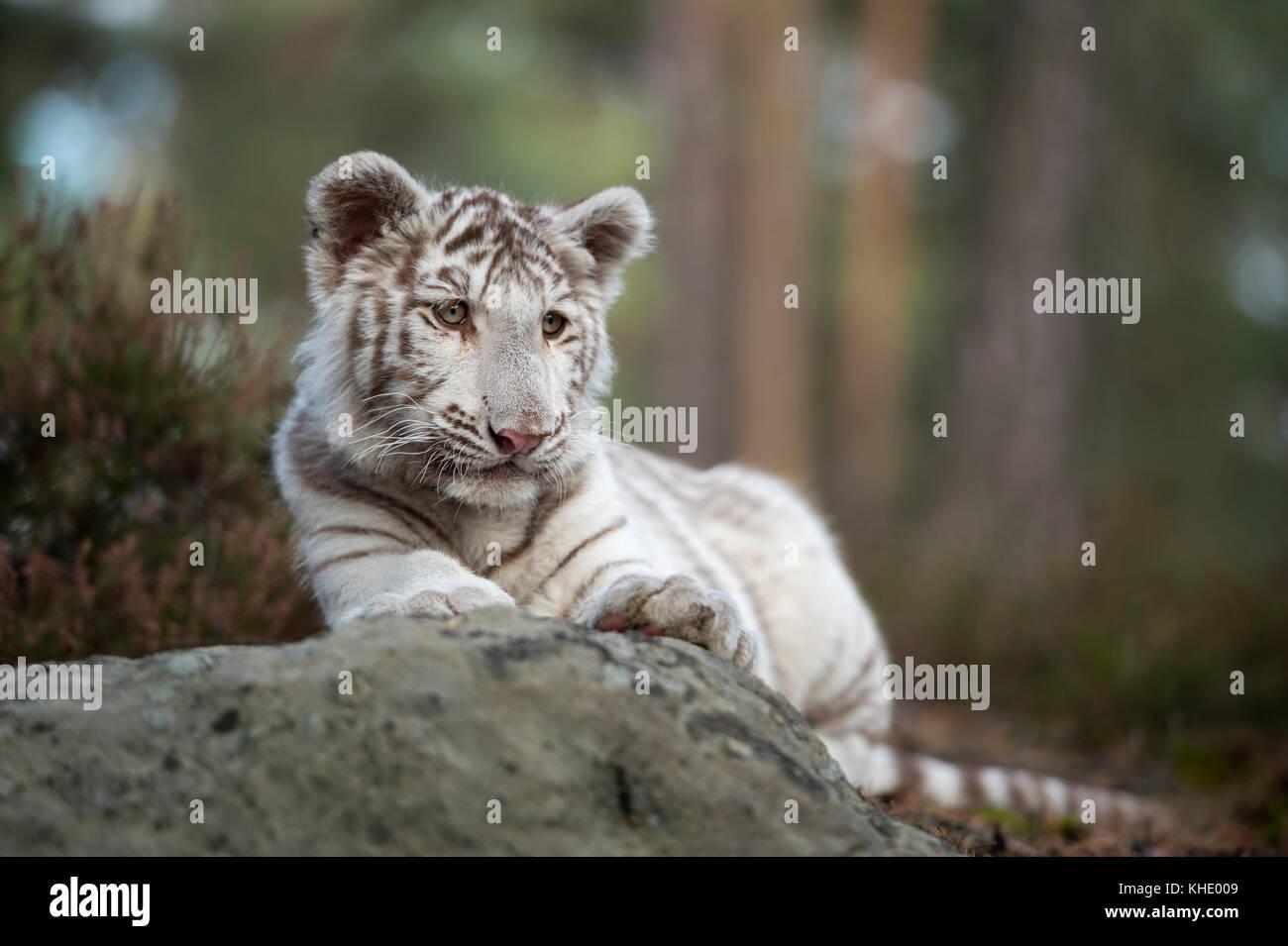 Bengal Tiger / Koenigstiger ( Panthera tigris ), young cub, white leucistic morph, lying on rocks, resting, watching - Stock Image