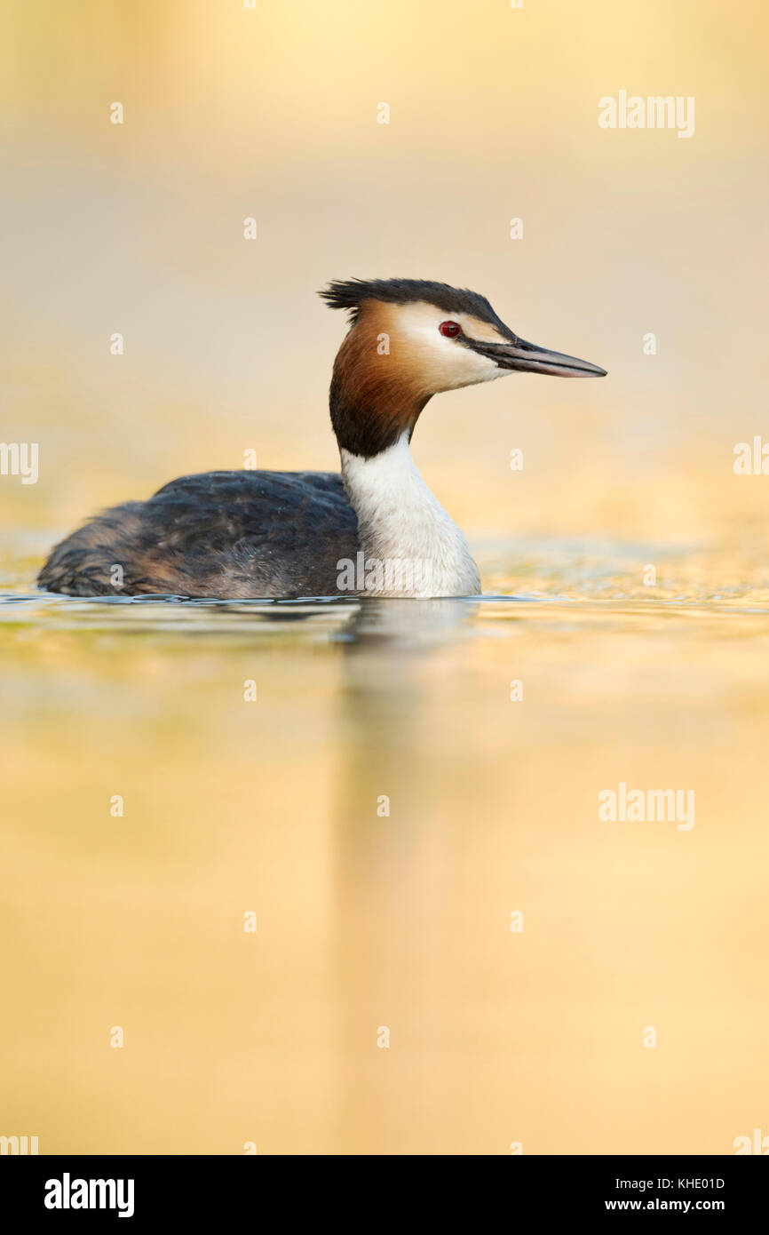 Great Crested Grebe ( Podiceps cristatus ), adult in breeding dress, swimming on a lake, last light, calm golden - Stock Image