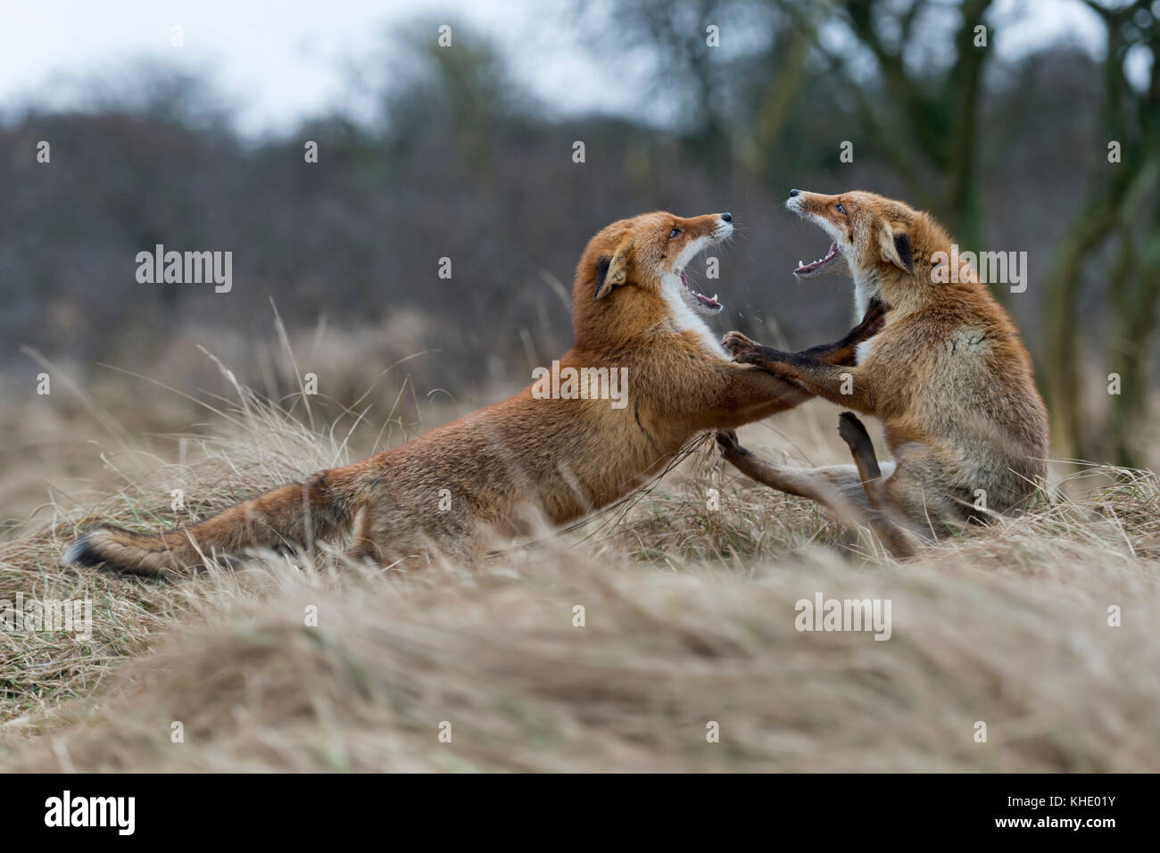 Red Foxes / Rotfuechse ( Vulpes vulpes ), two adults, in heavy fight, fighting, threatening with wide open jaws, - Stock Image