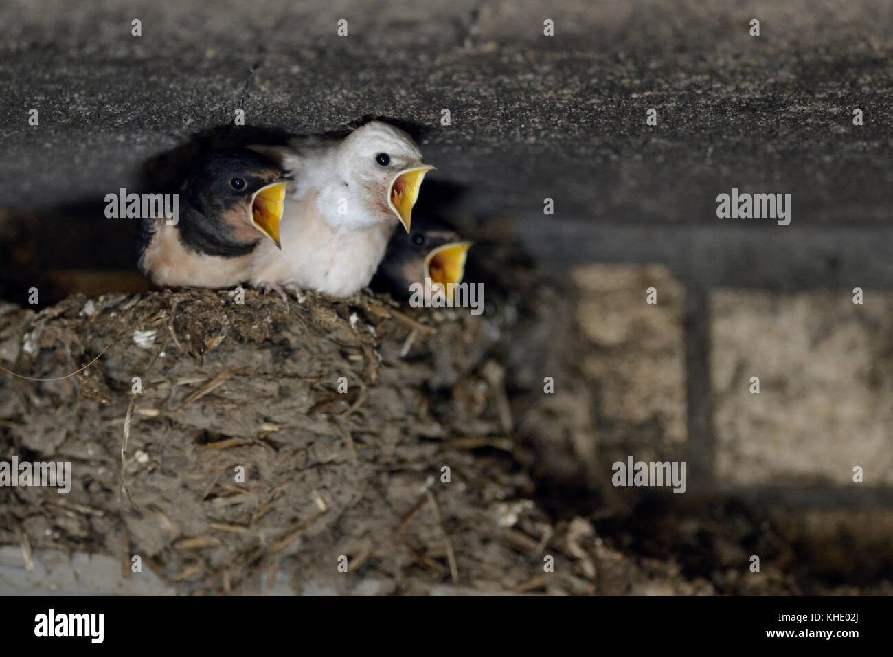 Barn Swallows ( Hirundo rustica ), begging chicks in nest, almost fledged, one with white plumage (gen defect), - Stock Image