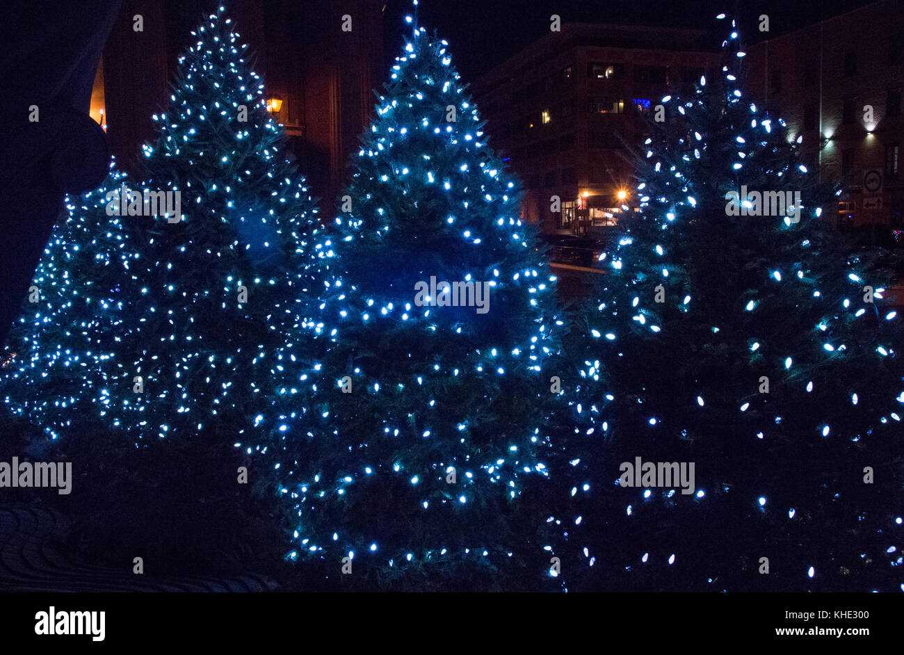 group of illuminated with blue lights christmas trees outdoor on a winter evening stock image - Christmas Tree With Blue Lights