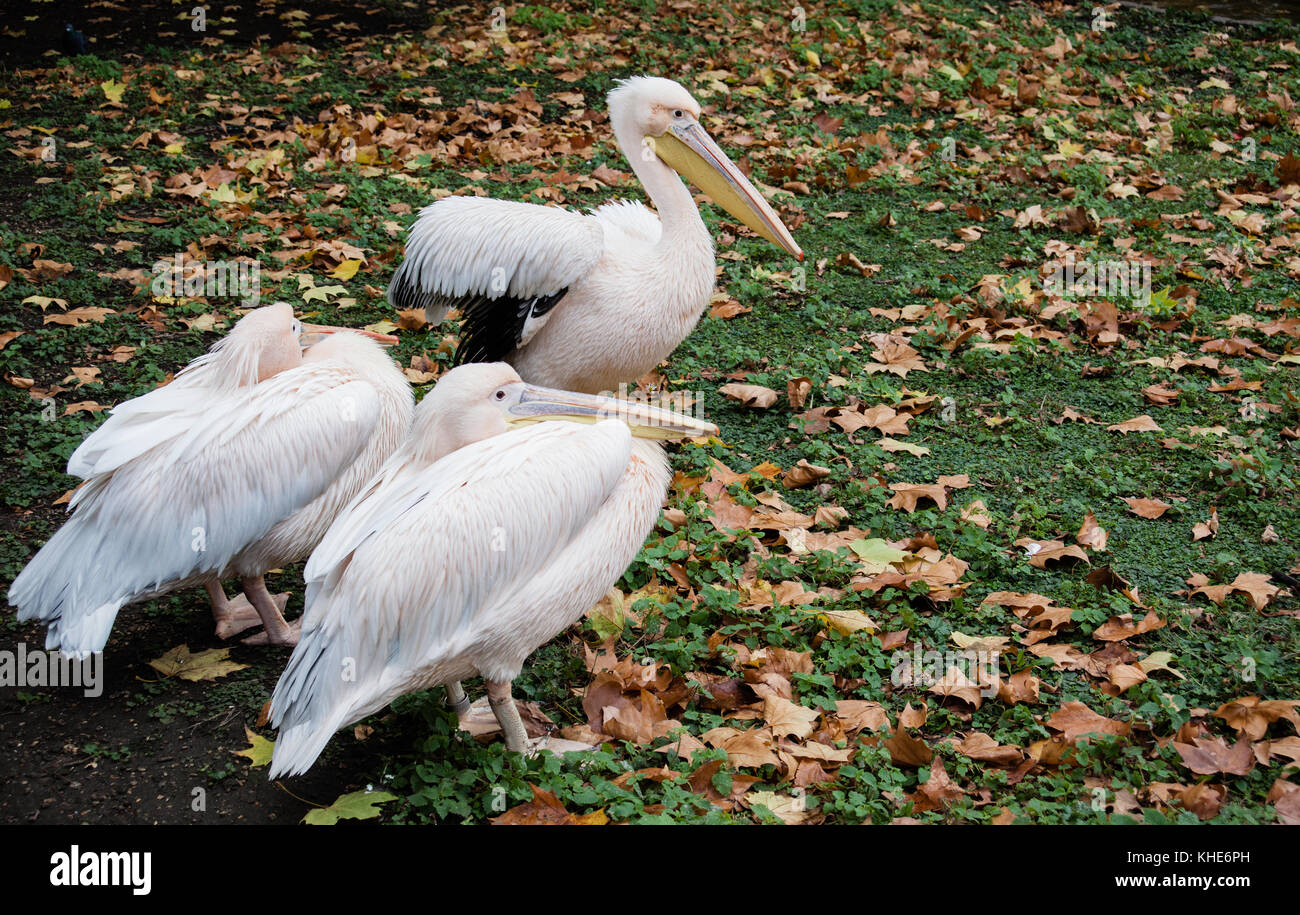 Pink Pelicans in St James Park, London - Stock Image