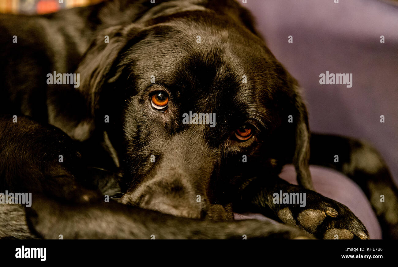 Black labrador close up - Stock Image