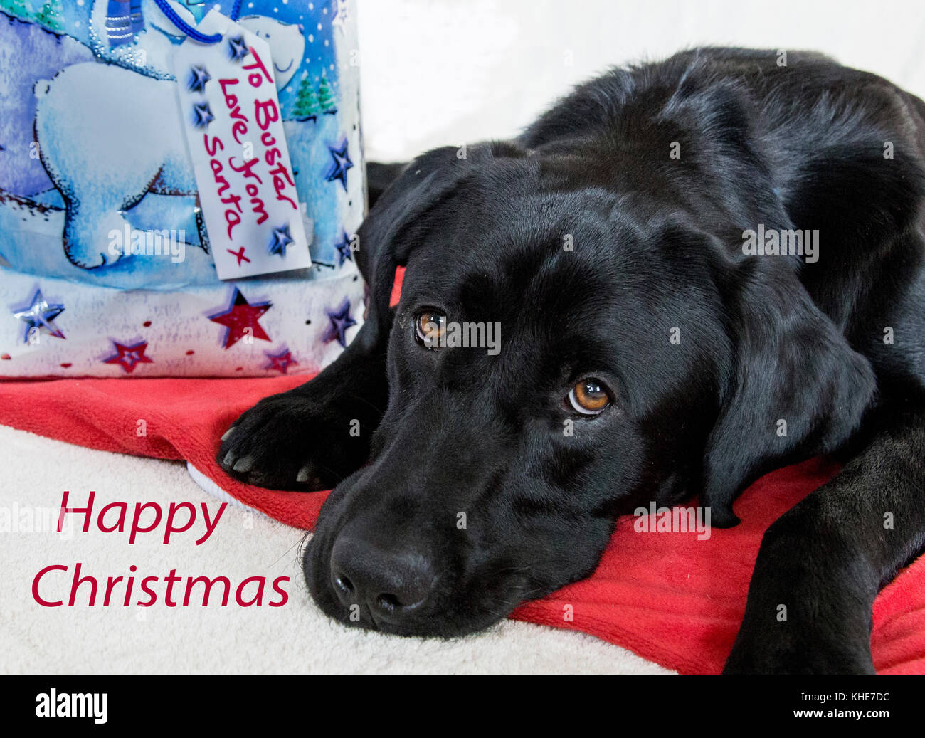 A black labrador is lying next to a Christmas gift from Santa tagged with his name. - Stock Image