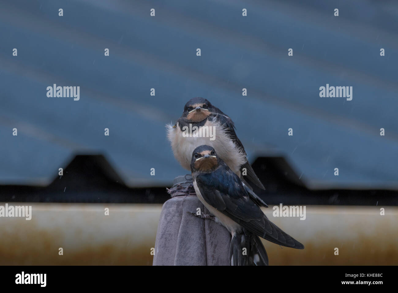 swallow bird, Hirundinidae, flying eye level towards camera plus young birds perched in spey bay Scotland. - Stock Image
